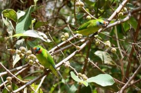 DOUBLE EYED FIG PARROTS by Mark Cross