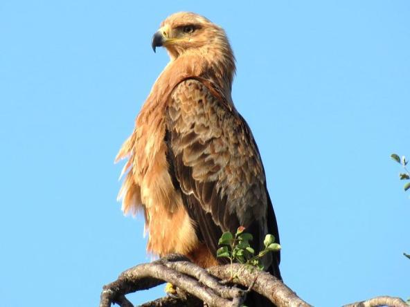 Eagle by Derek Perryman - Safarious