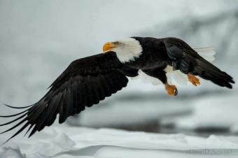 Eagle coming in....