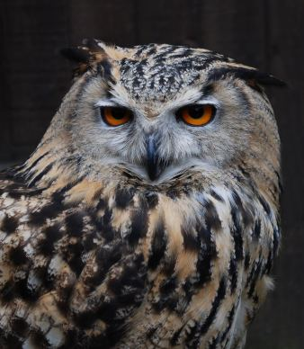 Eagle Owl by Stuart Davies