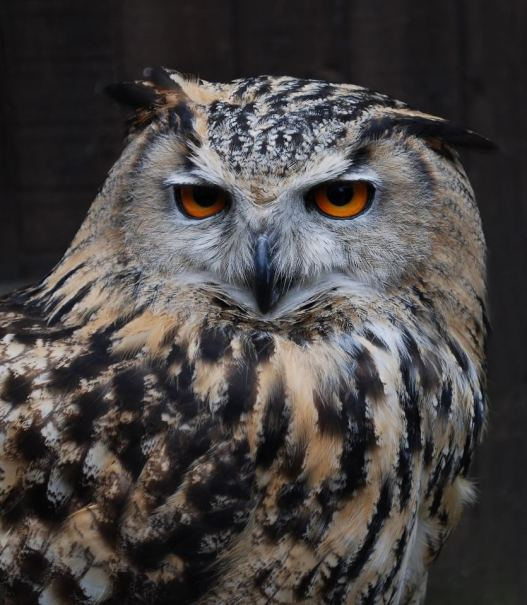 Eagle Owl by Stuart Davies