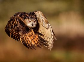 eagle-owl-flight_45673_990x742