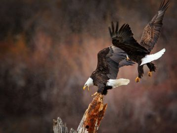eagles-in-flight_12092_990x742