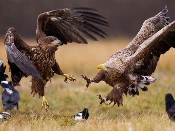 eagles-poland_63704_600x450