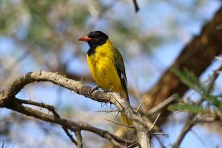 Eastern Black-headed Oriole - Oriolus larvatus © by Paweł Bujanowizc
