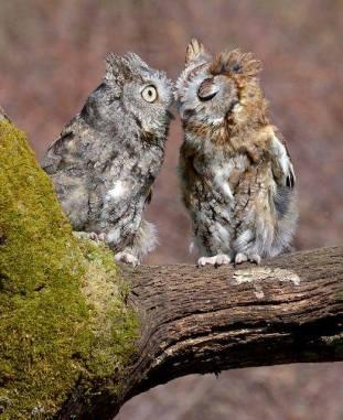 Eastern Screech Owl - Megascops asio - by Linda Mc Carthy