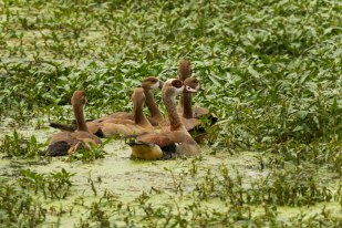 Egyptian Goose and goslings