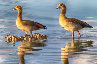 Egyptian Goose on Lake Tagalala, Selous, Tanzania - Michael Poliza Photographer