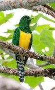 Emerald Cuckoo