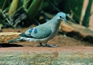 Emerald-spotted-Wood-Dove
