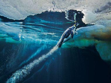 emperor-penguin-ice-antarctica-nicklen_64636_990x742