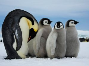 emperor-penguins-antarctica_48270_990x742