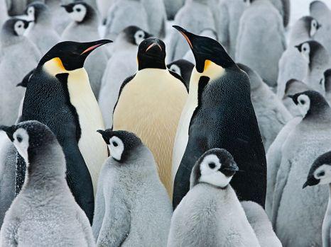 emperor-penguins-colony-nicklen_65143_990x742