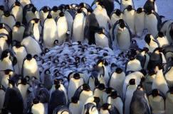 Emperor Penguins protect chicks in Antarctica.