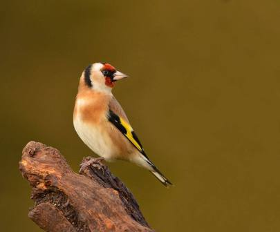 European Goldfinch - Carduelis carduelis - by Keith Bannister