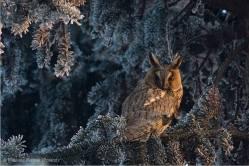 European Owl