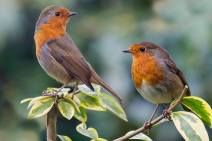 European Robins - Erithacus rubecula - by Kelvin Rumsby