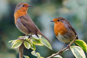 European Robins - Erithacus rubecula - by Kelvin Rumsby