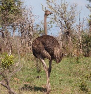 Female ostrich (2)