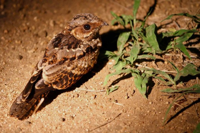 Fiery necked nightjar