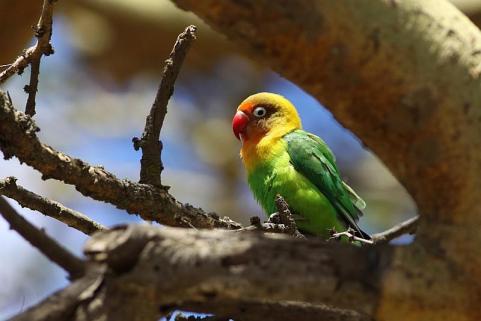 Fischer's Lovebird - Agapornis fischeri © by Paweł Bujanowizc