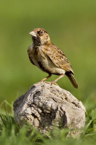Fischer's Sparrow-Lark - Eremopterix leucopareia © by Paweł Bujanowizc