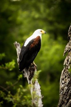 Fish Eagle (2)