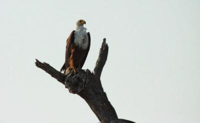 Fish Eagle a