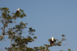 Fish-eagle-pair1 - 5Oct12 Londolozi