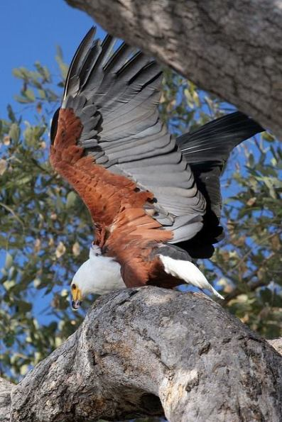 Fish Eagle