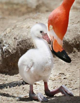 Flamingo chick