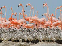 flamingo-chicks-nigge_49754_990x742