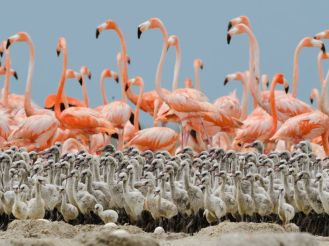 flamingo-chicks-nigge_49754_990x742