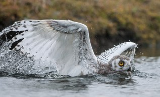 Fledling Snow Owl