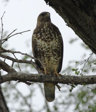Forest Buzzard (Buteo trizonatus)
