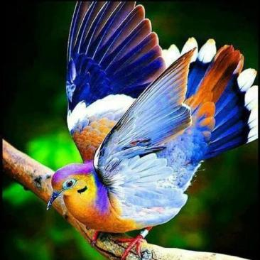 fruit dove
