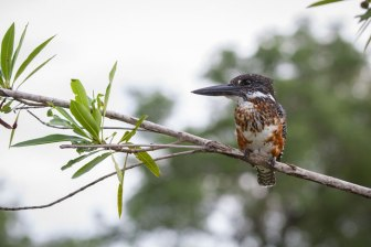 Giant-Kingfisher 2