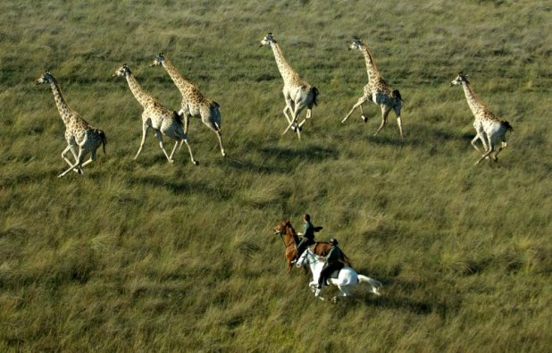 Giraffe rush