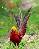 Golden Pheasant.