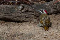 Golden tailed woodpecker