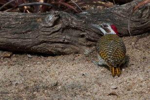 Golden tailed woodpecker