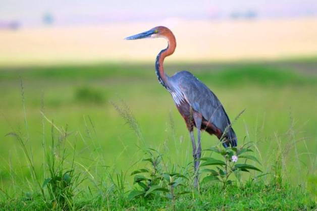 Goliath Heron - Ardea goliath