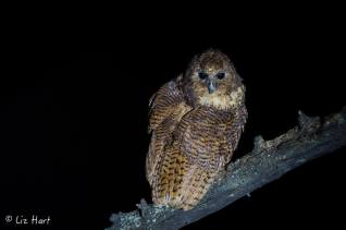 Goodnight from one of Africa's rarest birds, the Pel's Fishing Owl