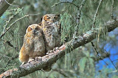 Great Horned Owl and Fledgling