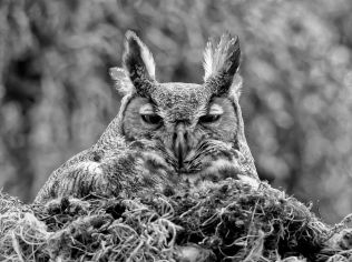 great-horned-owl-florida_60635_990x742