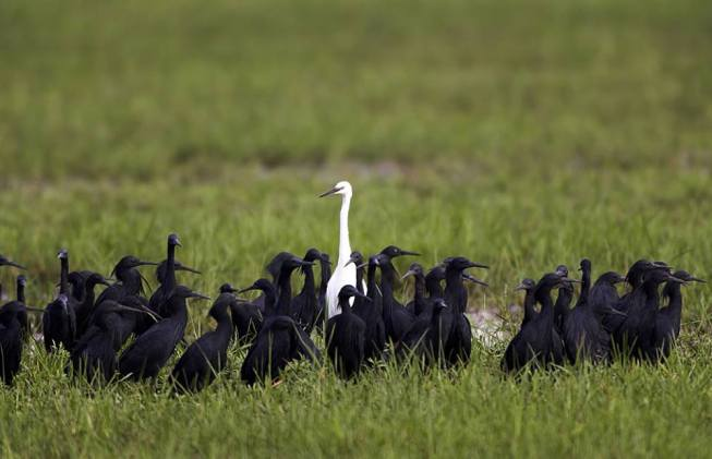 Great white egret amongst black egrets in Moremi Game Reserve, Botswana by Michael Poliza