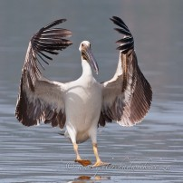 Great White Pelican juvenile landing.