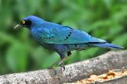 Greater Blue-eared Starling, Kenya