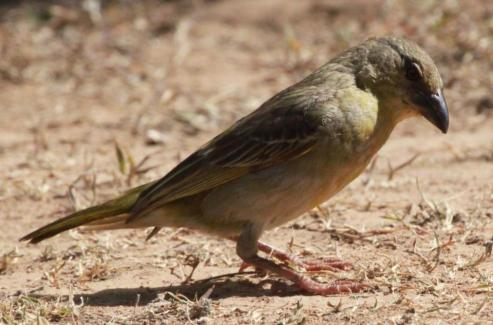 Greater Honeyguide (Indicator indicator) female.
