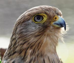 Greater Kestrel (Falco rupicoloides )